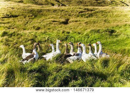 Wild birds from the Faroe Islands in the north Atlantic
