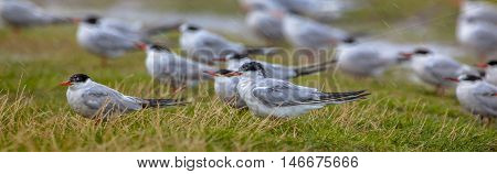 Terns In Rain