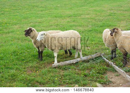 sheeps black head and white head into a field broken enclosure