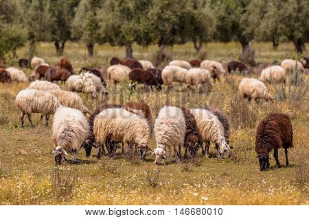 Organic Sheep Farming In Greece