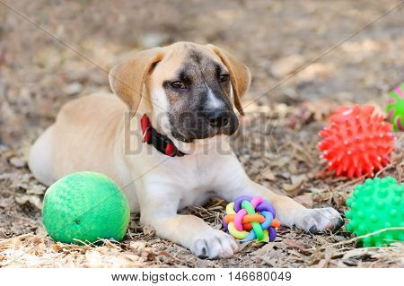 Dog toys is a cute happy adorable puppy playing with his toys outdoors.