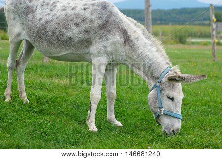 gray donkey grazing in enclosure green field