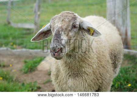sheep in enclosure green field farm grass