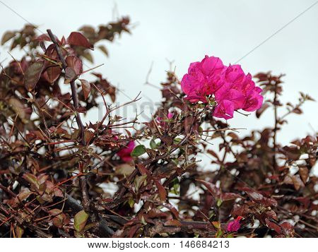The Bougainvillea flower Bougainvillea glabra is very common on the island of Madeira