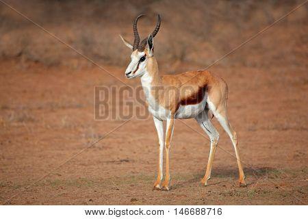 A male springbok antelope (Antidorcas marsupialis), Kalahari desert, South Africa