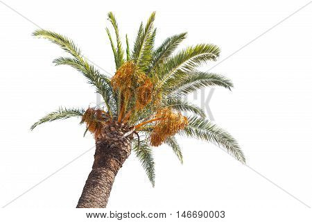 Date Palm Tree Isolated On White