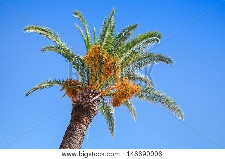Date Palm Tree Over Clear Blue Sky