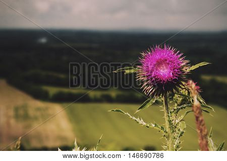 Pink Thistle Against View Over The Chilterns In Buckinghamshire Vintage Retro Filter.