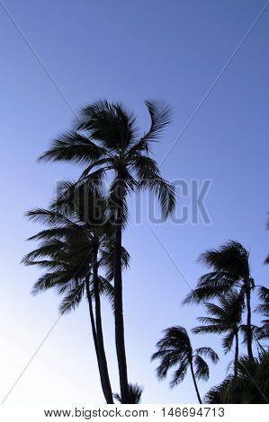 palm tress blowing in the wind against a clear sky at dusk
