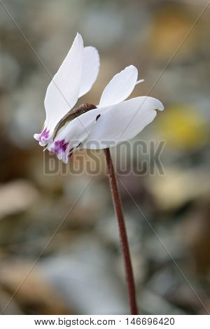 Cypriot Sowbread - Cyclamen cyprium Endemic to Cyprus