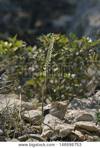 Autumn Ladys Tresses - Spiranthes spiralis In Rocky Habitar