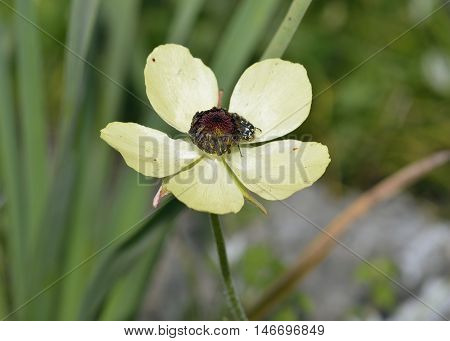 Turban Buttercup - Ranunculus asiaticus Cream form Flower with beetle