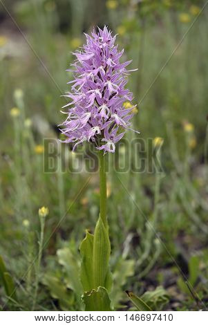 Naked Man Orchid - Orchis italica From the Mediterranean