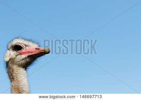 I Am The Ostrich