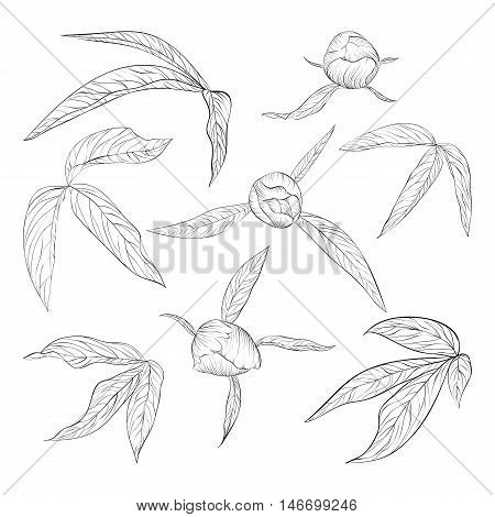 set of beautiful black and white peony leaves and buds isolated on white. Hand-drawn contour lines and strokes.