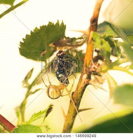Macro of a Phylloneta impressa cobweb spider eating a fly.