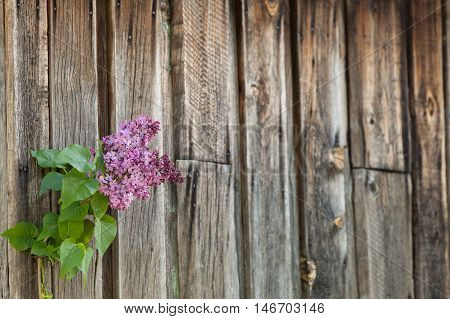 Lilac Branch Against The Wooden Background