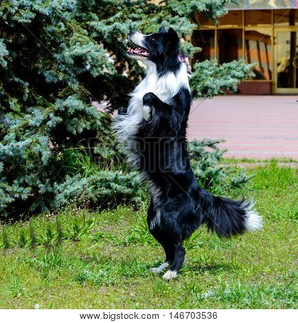 Border Collie stands. The Border Collie is on the grass in the park.