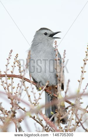 Gray Catbird calling from newly budding bushes