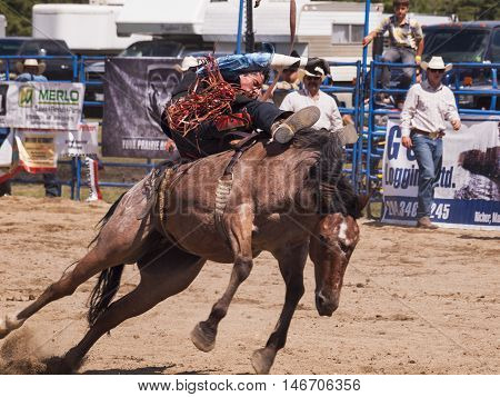 Rodeo. Cowboy trying to hold on to a wild horse. Winnipeg. Canada