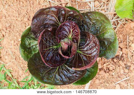 Red vegetable salad in garden nontoxic demonstration.