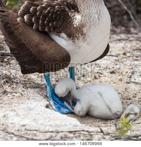 blue-footed booby (Sula nebouxii) is a marine bird in the family Sulidae. in Galapagos Islands. baby and mom.
