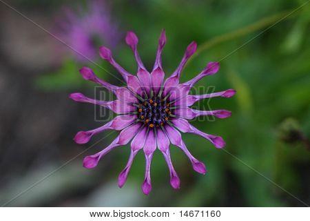 Pinwheel Daisy