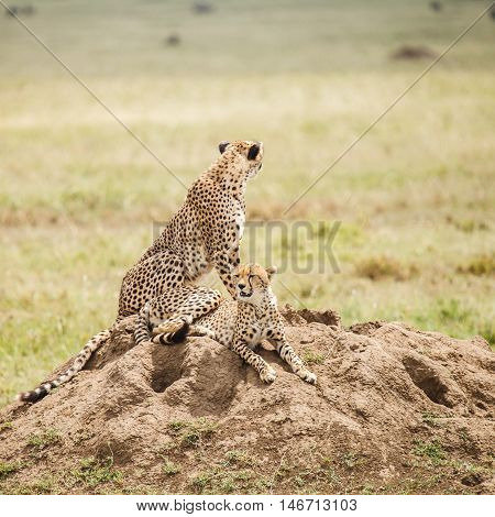 Cheetah is a big cat that occurs mainly in eastern and southern Africa. wildlife for background.