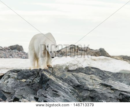 polar bear endangered species to protect. wildlife.