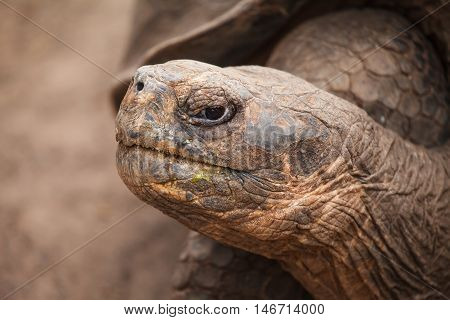 The Galapagos giant tortoise in nature. endangered