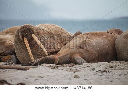 The walrus is a large flippered marine mammal with a discontinuous distribution about the North Pole in the Arctic Ocean and subarctic seas of the Northern Hemisphere.