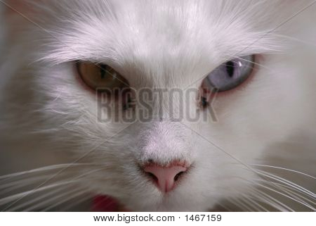 Cat Close Up Angry