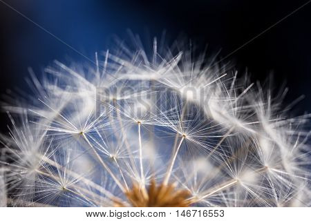 Rounded head of soft-textured dandelion seeds against a blue and black background