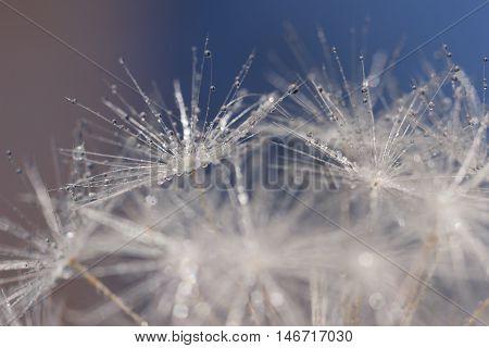 Fragile Wet Dandelion Fluff