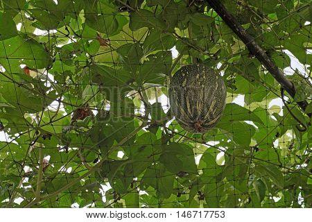 Squash Cushaw Pumpkin Or Cucurbita Mixta On Tree