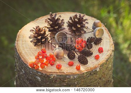 Vintage photo Autumn fruits of forest on wooden stump in garden on sunny day rowan alder cone pine cone acorns
