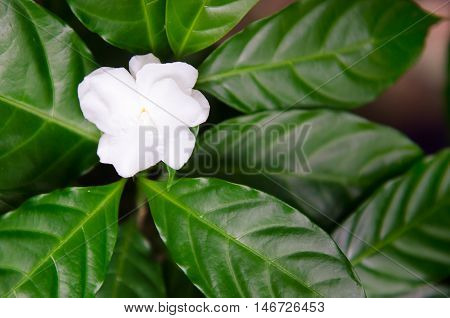 Delicate Jasmine Flowers With Leaf In The Garden