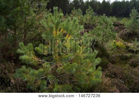 Landscape featuring pine trees and river in Glemore Forest Park near Aviemore Scotland UK