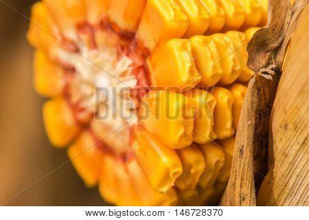 Ripe corn cob close up of cultivated maize in field