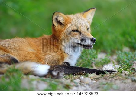Portrait Red Fox In Nature