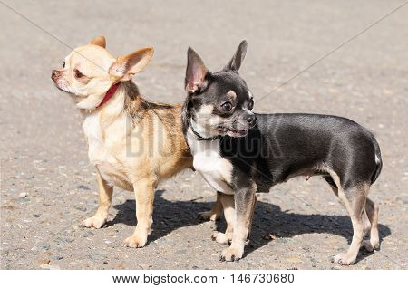 Two Chihuahua dogs standing over blurry grey background