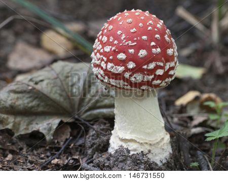 Toadstool (Amanita muscaria) mushroom near the forest tree closeup