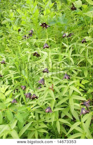 Wildflower [fritillaria] And Underbrush,