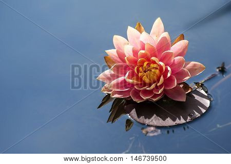 pink water lily (Nymphaea Peachglow) with leaf and reflection on the blue pond generous copy space can be used as a greeting card