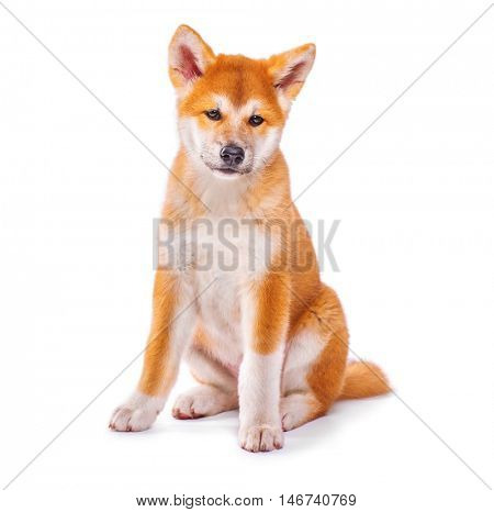 Akita Inu purebred puppy dog isolated on white background. Shiba inu. 3 months old puppy