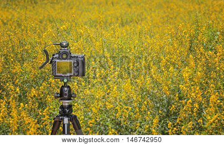 Camera on tripod capturing yellow sunhemp field