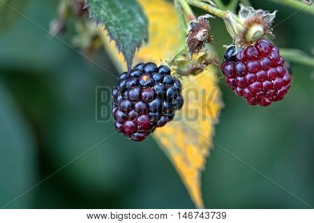 Blackberries in the garden growing on a bush
