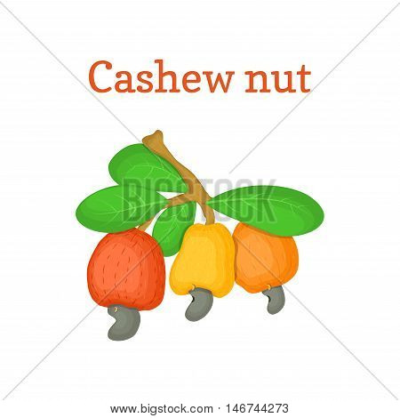 Vector illustration of a cashew nut. Branch cashew nut tree with three multi-colored fruits orange yellow red and leaves on a white background. Elements of packaging design brochures on healthy eating