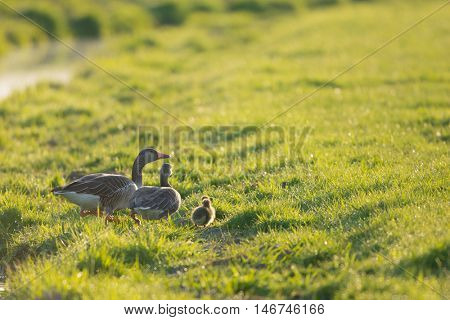 Family gooses  with goslings walking in grass