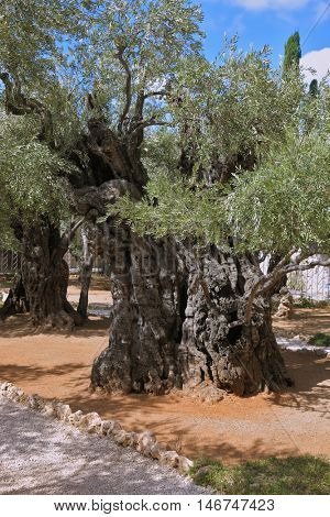 Eternal holy Jerusalem. One of the eight very ancient olive trees in the Garden of Gethsemane